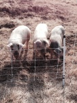 Petunia, Pansy and Primrose, our first 3 pigs